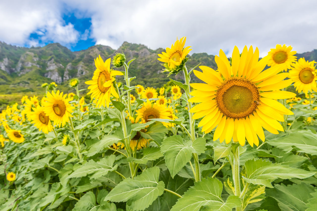 Close-Up Of Fresh Sunflowers Blooming In Field Against Sky