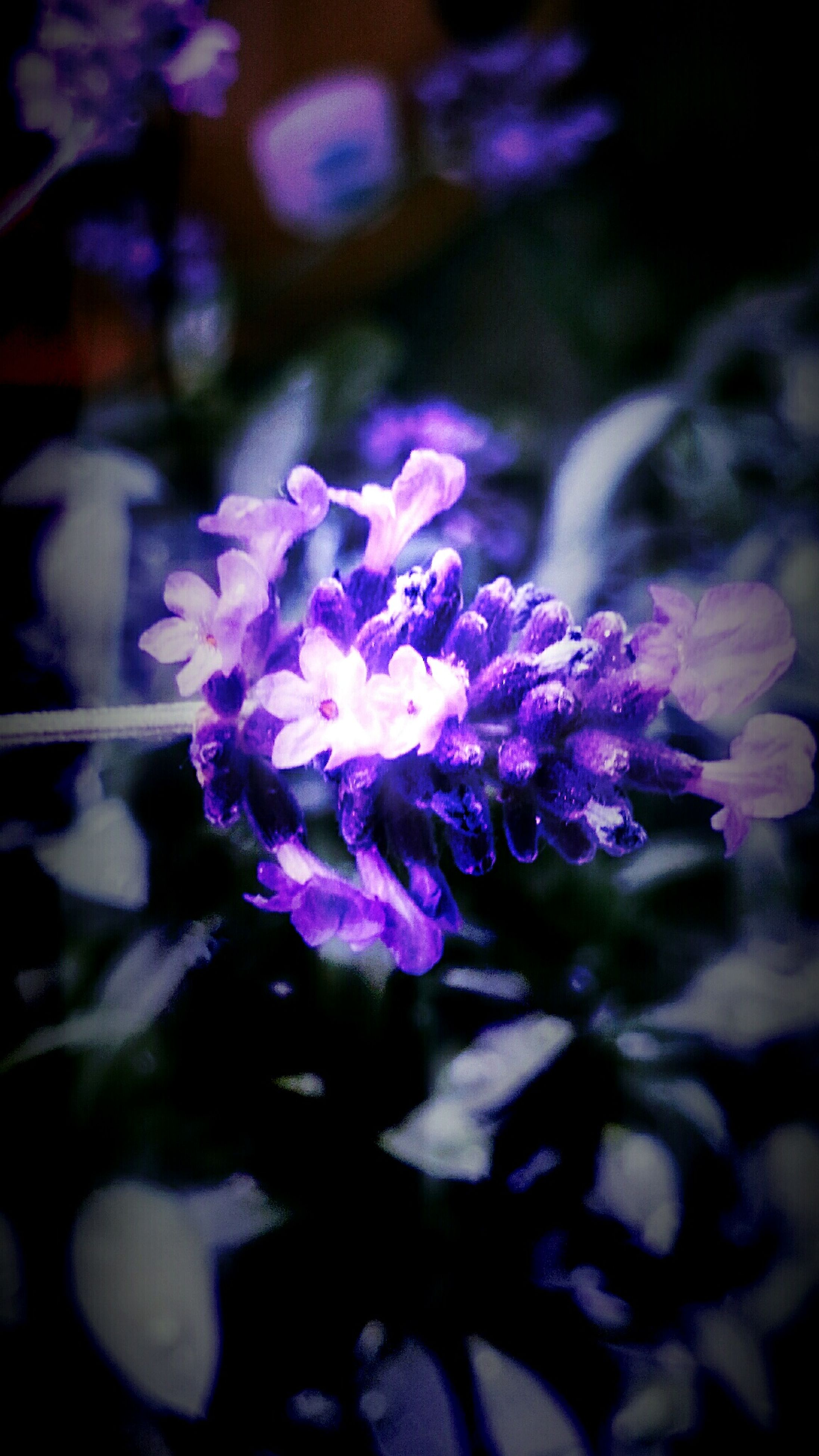 flower, freshness, fragility, petal, growth, flower head, beauty in nature, close-up, purple, focus on foreground, nature, blooming, pink color, plant, in bloom, selective focus, blossom, outdoors, no people, park - man made space