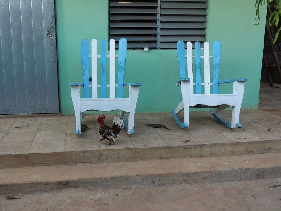 A happy Cuban chicken Built Structure Chair Chicken Cuba Day Morning Nature No People Outdoors Pastel Colors Porch Relaxed Rocking Chairs Viñales