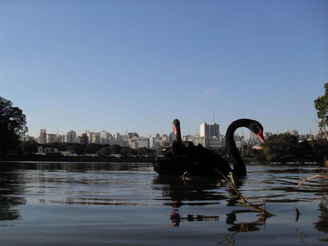 Nofilter Brasil ♥ Brazil ParqueIbirapuera-SP Ibirapuera Swan BlackSwan Park Animals São Paulo