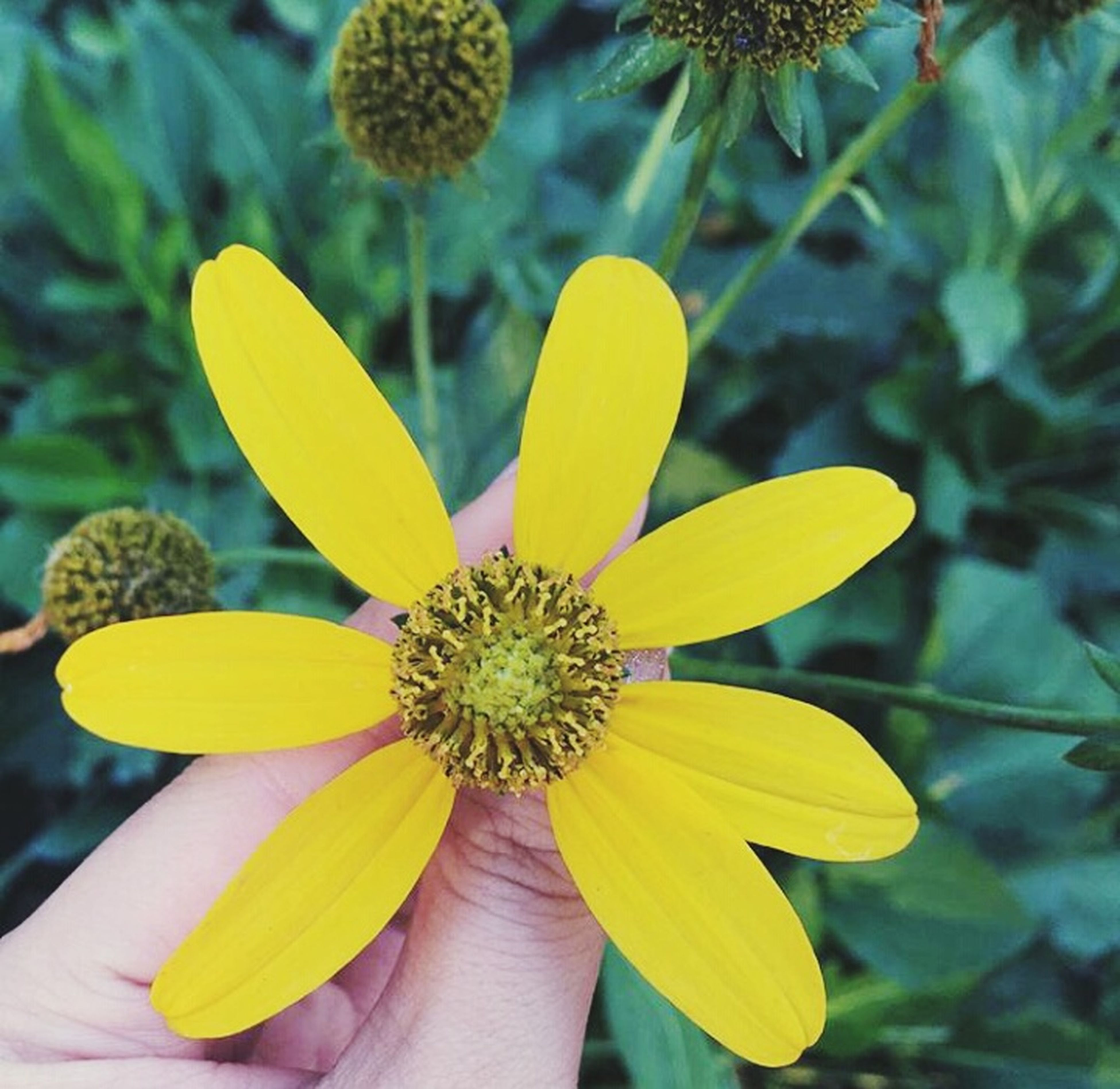 flower, yellow, petal, freshness, flower head, fragility, focus on foreground, close-up, growth, pollen, beauty in nature, nature, blooming, plant, single flower, day, outdoors, part of, in bloom, park - man made space