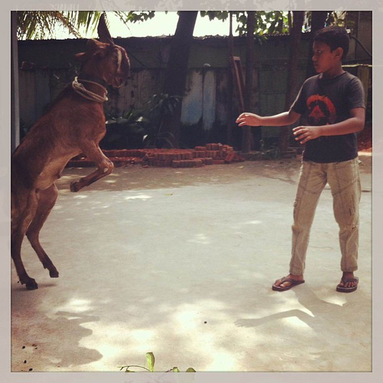 Eid Adha Goat Jump Chaktai Chittagong Celebration