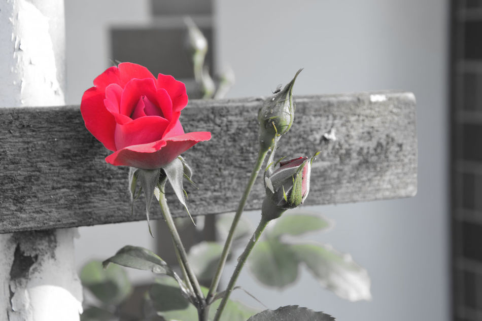 Flower colors Beauty In Nature Blooming Blossom Botany Flower Flower Head Focus On Foreground Fragility Nature Plant Red Rose - Flower Rosé Roses Roses🌹 Rose🌹 Playing With Colors Playing With Colours
