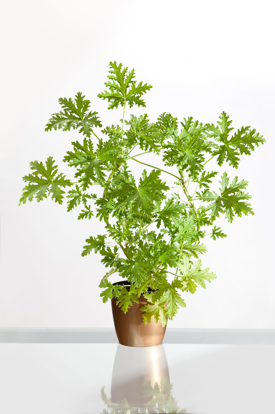 Pelargonium citrosum plant or Pelargonium graveolens, citrosa geranium, scented leaves of herb plant using in culinary and medicine, large flower grow in golden flowerpot, standing on glass in white background, vertical orientaton, nobody. Citrosa Citrosum Flower Flowerpot Foliage Geranium Graveolens Nature Pelargonium Plant Plant