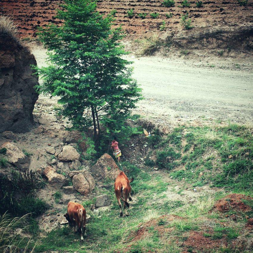 放牛的小女孩 Taking Photos Relaxing 巧家 Tamron Girl Cattle Cows
