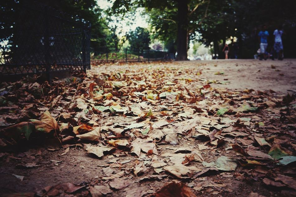 Maple Leafs Tree Leaf Nature Growth Autumn Outdoors Beauty In Nature Change Day Leaves Tranquility Scenics No People