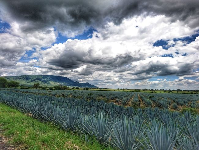 Cloud - Sky Agriculture Nature Field Rural Scene Growth Beauty In Nature Tranquility Day Landscape Scenics Tranquil Scene Maguey Agave Plant Sky Plant Outdoors Fragility Flower Grass No People Freshness The Week On EyeEm EyeEmNewHere Hills Perspectives On Nature