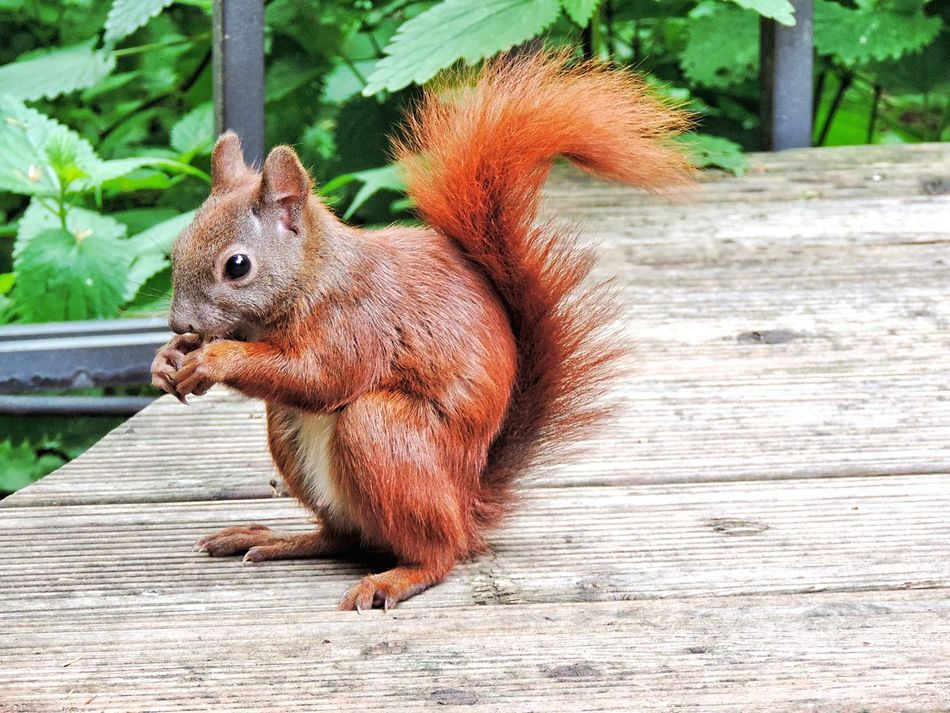 Beautiful stock photos of squirrel, Animal Themes, Animals In The Wild, Berlin, Brown