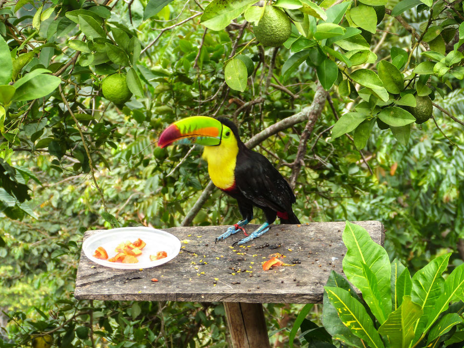 Animal Themes Animals In The Wild Beak Bird Branch Day Green Color Nature No People One Animal Outdoors Perching Tree Tucan