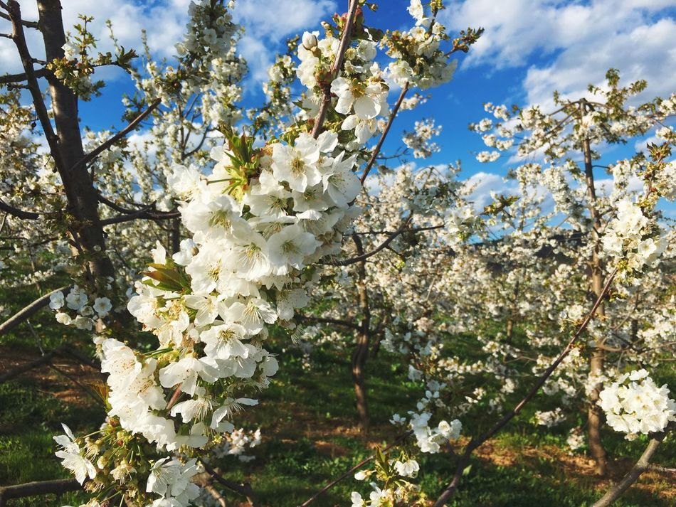 Cherry blossom heaven Growth Tree Flower White Color Nature Beauty In Nature Blossom Springtime Fragility Branch Twig No People Outdoors Sunlight Apple Tree Petal Freshness Day Sky Close-up Cherry Blossoms Cherry Tree