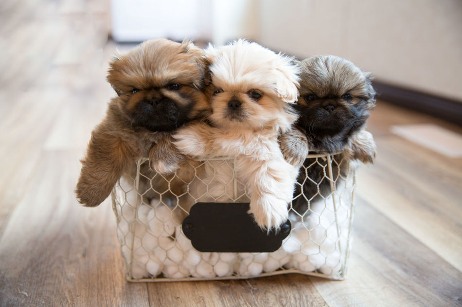 Beautiful stock photos of puppy,  Animal Themes,  Baby Animal,  Basket,  Canine