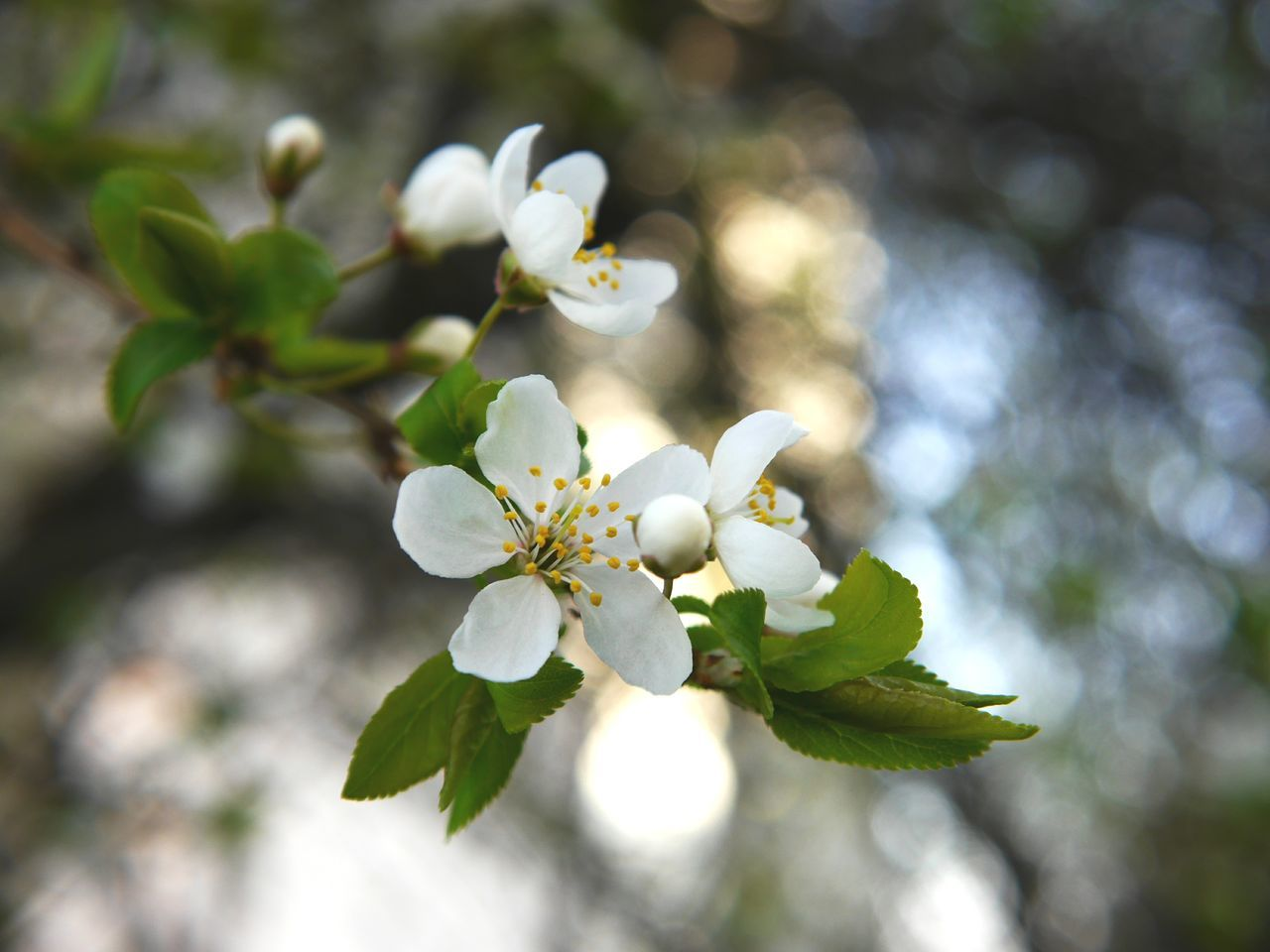 Spring has sprung... Flower Growth Springtime Blossom Nature Plant White Color Flower Head Beauty In Nature Almond Tree Branch Tree Twig Beauty Close-up No People Freshness Living Organism Day Outdoors