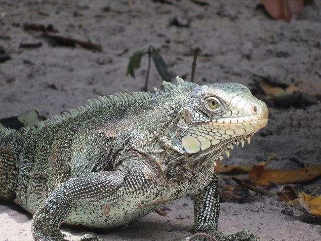 Amazon Amazon - Brazil Amazon Rainforest Amazon River Amazonas Animal Photography Animal Themes Animals In The Wild Close-up Lizard Nature At Its Best Nature Up Close One Animal Reptile Wildlife