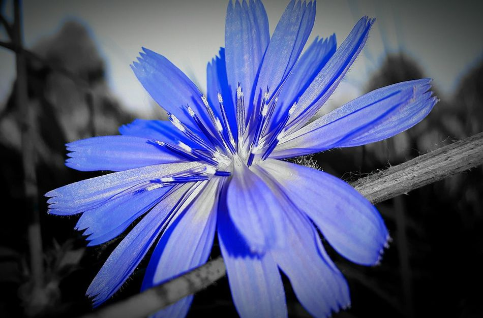 Color Palette True Blue Chicory Edible Flowers