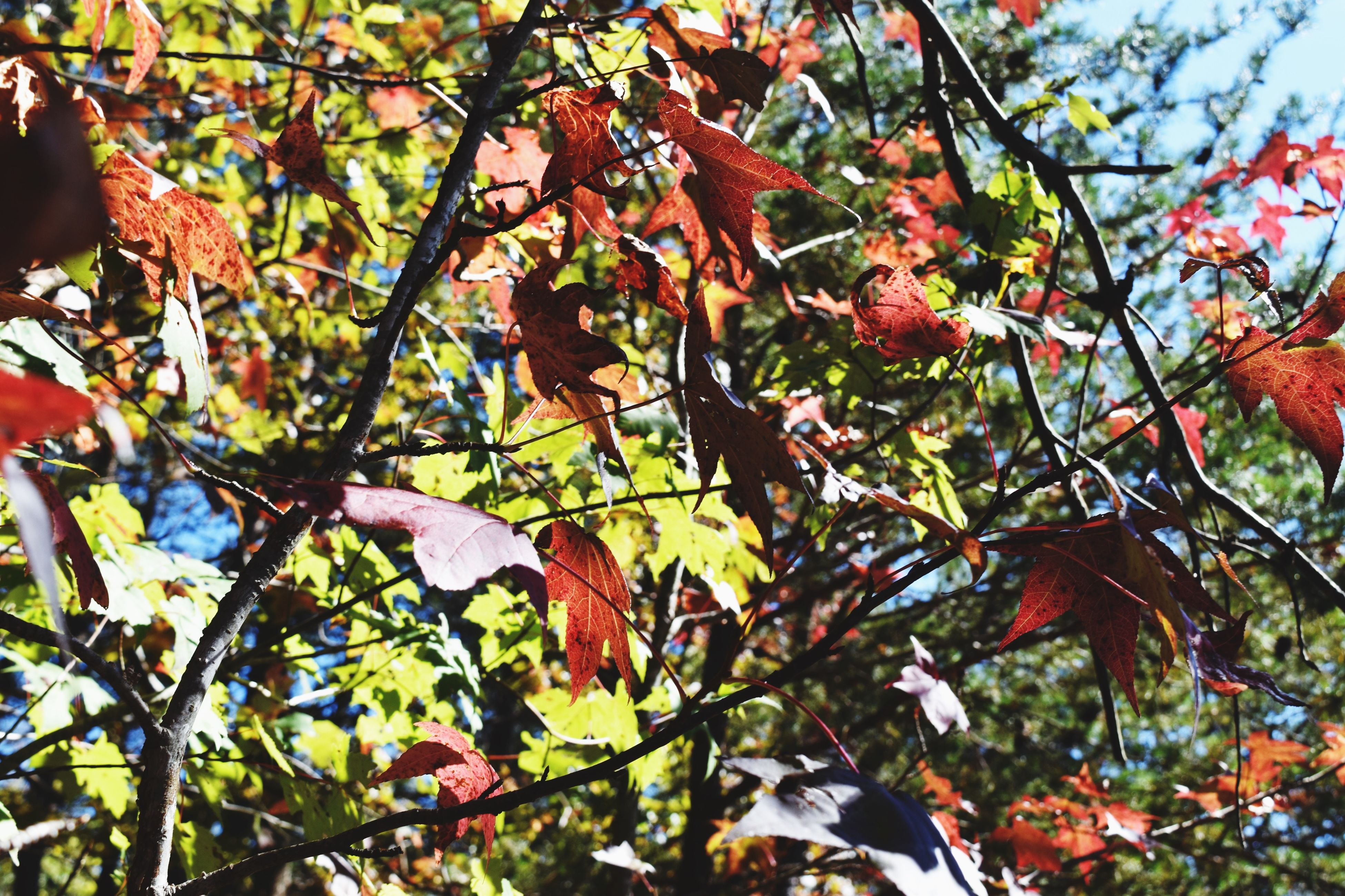 branch, tree, leaf, low angle view, growth, autumn, nature, change, beauty in nature, season, day, red, tranquility, outdoors, close-up, full frame, leaves, focus on foreground, no people, twig