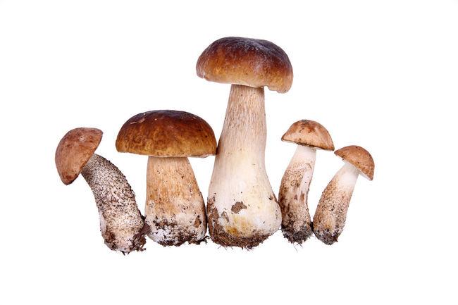 Autumn Boletus Brown Champignon Close-up Collection Diet Fall Food Fungi Fungus Gourmet Healthy Mushroom Natural Nature Organic Raw Season  Spice Still Life Studio Shot Vegan Vegetarian White Background