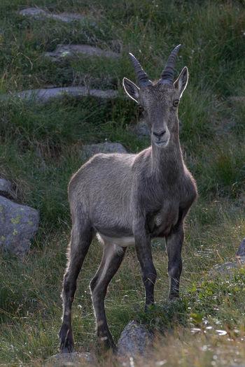 #Mountain #Nature  #animal #bergamo #ibex #italy #laghigemelli #nature_collection #EyeEmNaturelover #nature #steinbock #wild #wildanimal #wildlife #young Animals In The Wild Mammal One Animal