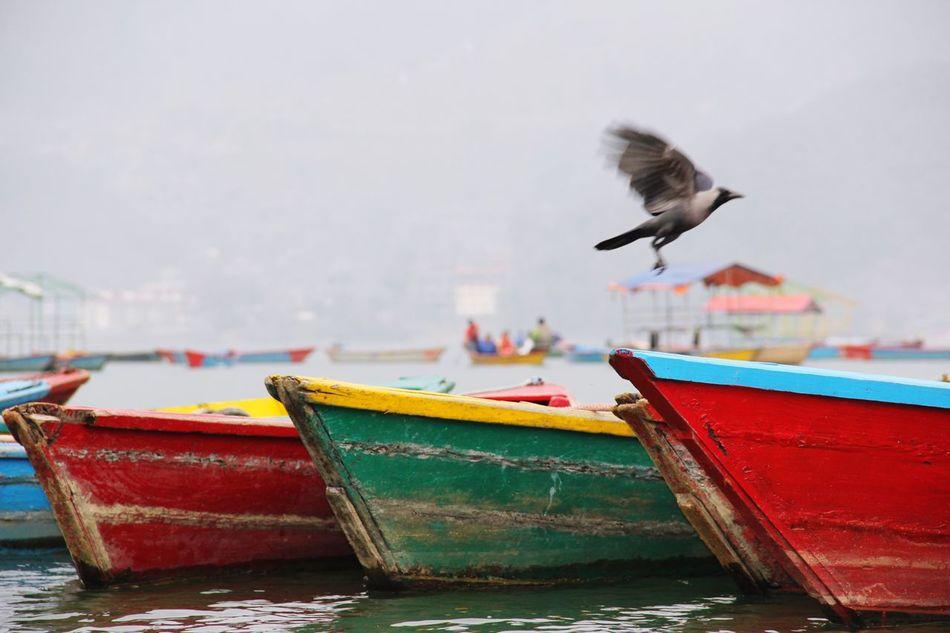 Bird Boats Flying Animal Wildlife Phewa Lake Pokhara!