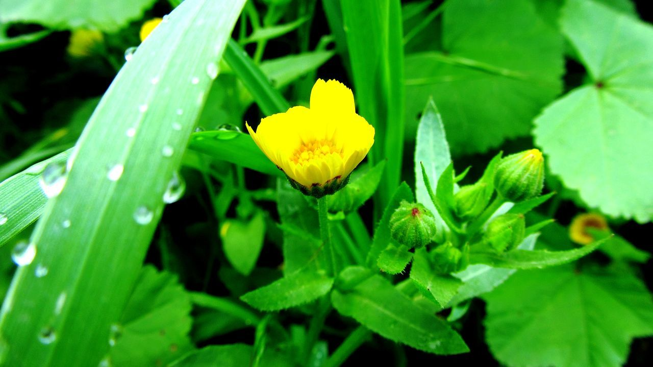 growth, flower, green color, nature, freshness, leaf, beauty in nature, fragility, petal, plant, flower head, outdoors, yellow, drop, no people, day, close-up, focus on foreground, blooming, water