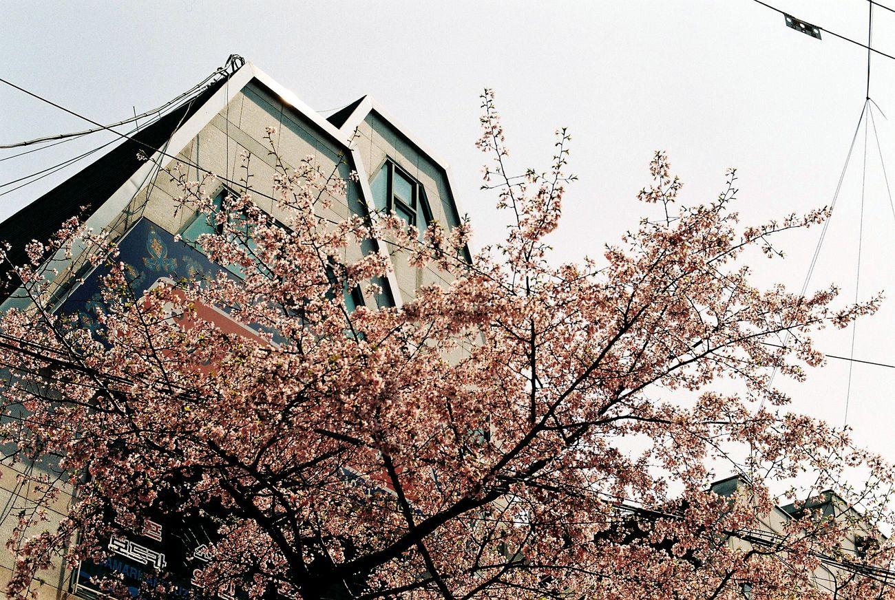 Film Photography EyeEm Korea Sakura Spring