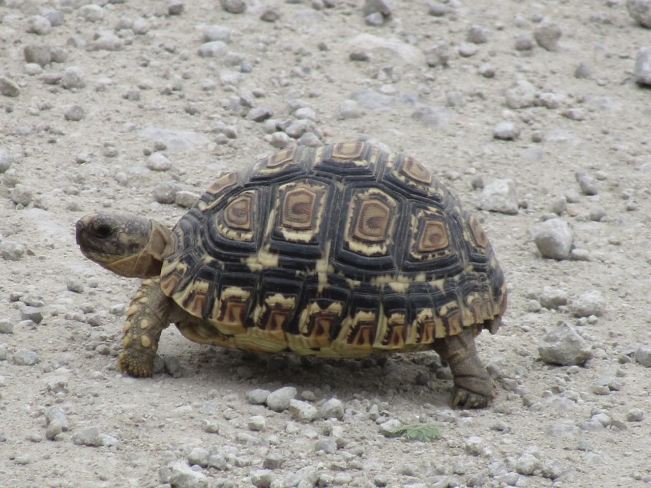 Animal Themes Animal Wildlife Animals In The Wild Close-up Day Nature No People One Animal Outdoors Reptile Sand Sea Life Sea Turtle Tortoise Tortoise Shell Turtle