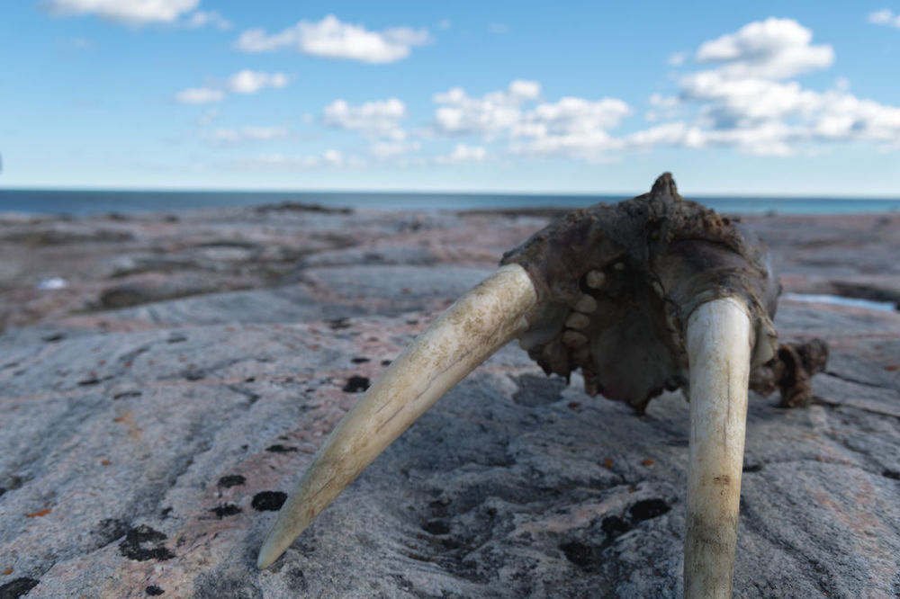 Walrus remains Walrus Tusk Beach Beauty In Nature Close-up Cloud - Sky Day Horizon Over Water Inuit Nature No People Outdoors Scenics Sea Sky Tranquil Scene Tranquility Tusk Tusks Walrus Water Wood - Material