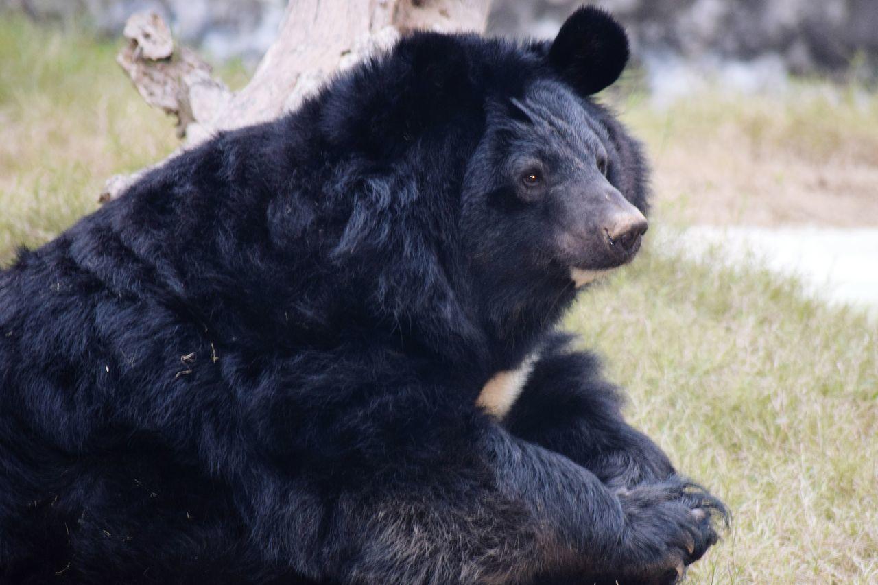 Black Bear Wishing Freedom Love Animals
