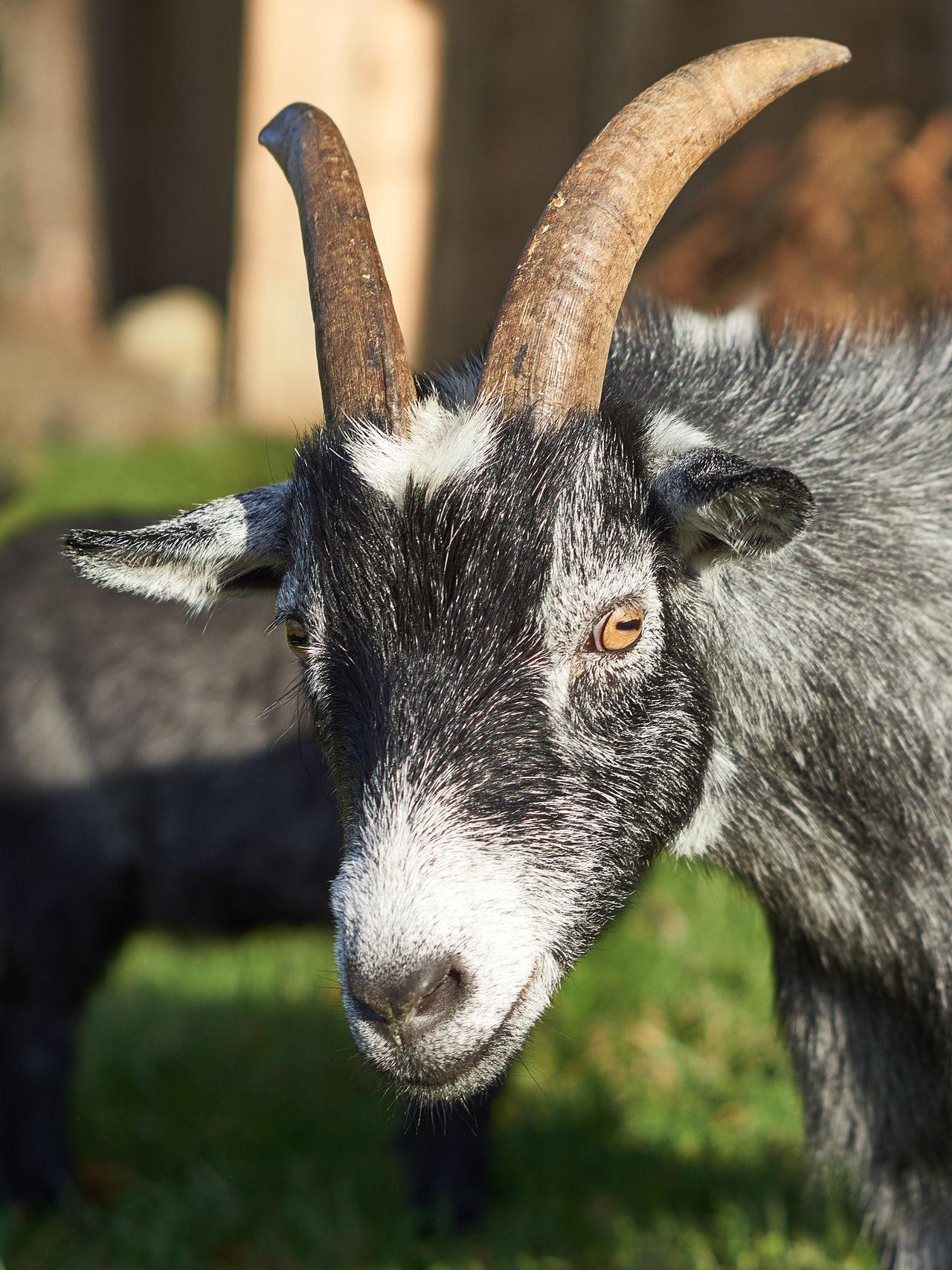 Beautiful stock photos of goat, Animal Eye, Animal Head, Animal Themes, Antler