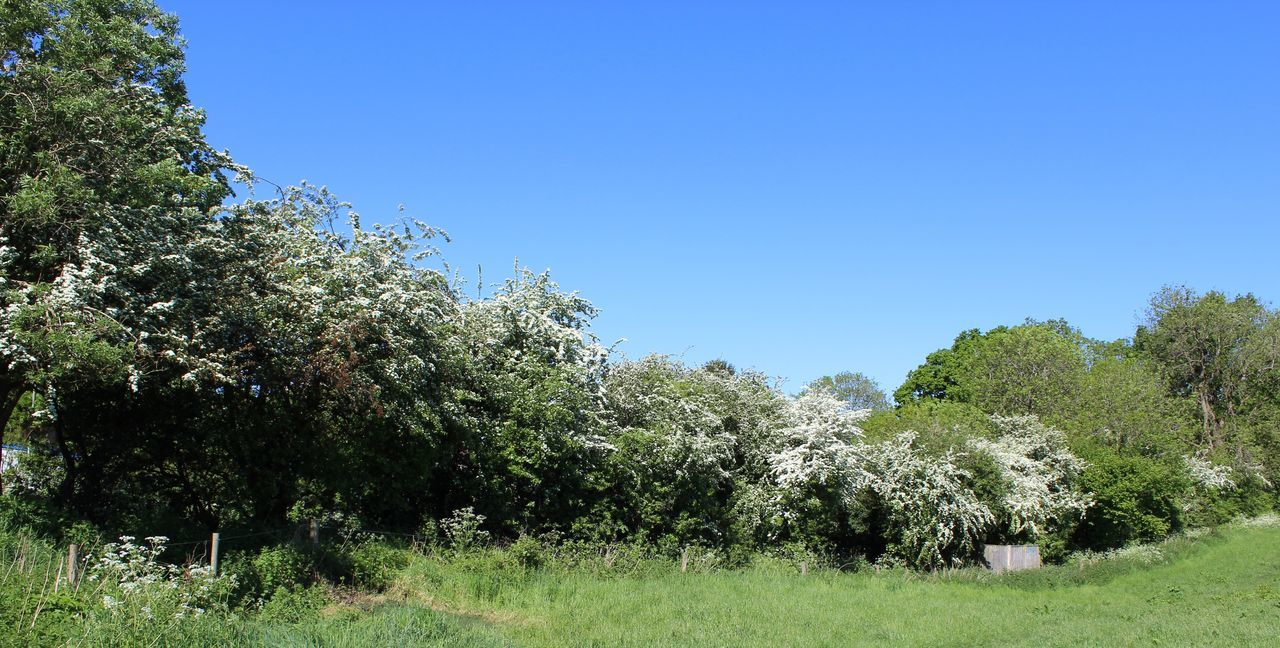 Taking Photos Springtime Early Summer Hawthorn Blue Sky