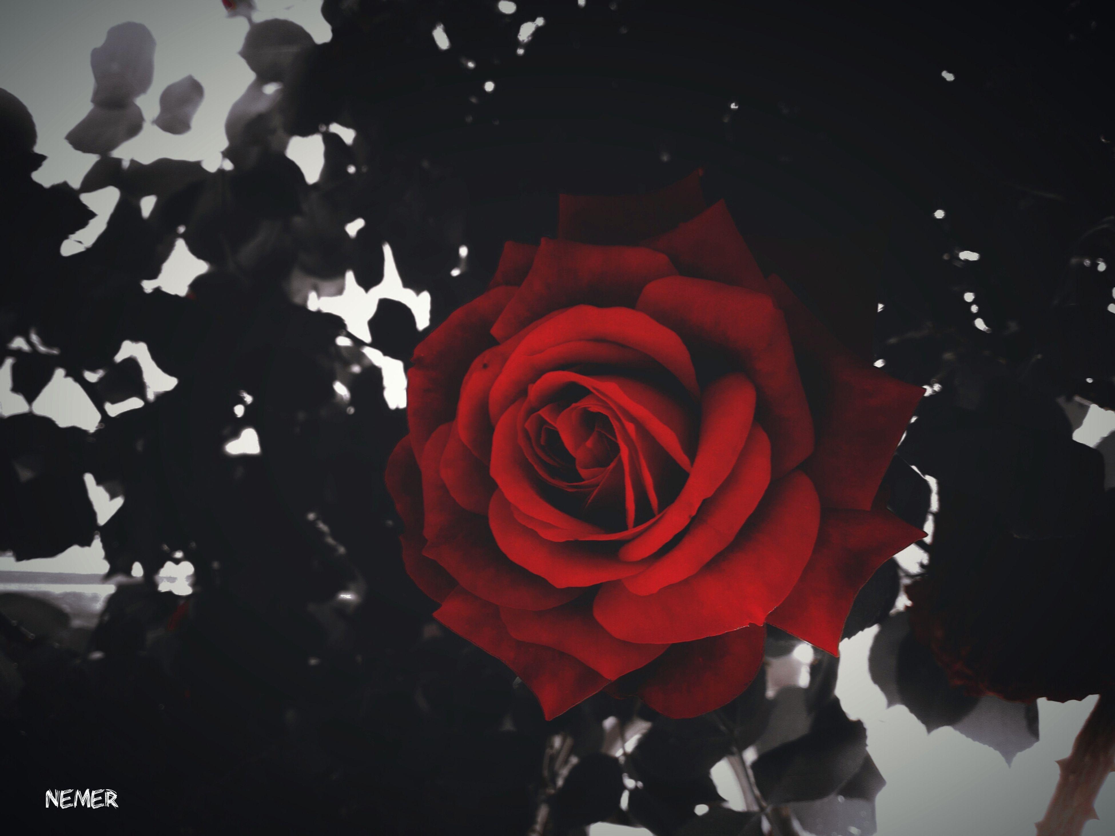 flower, petal, freshness, fragility, flower head, rose - flower, close-up, red, beauty in nature, nature, rose, springtime, bloom, blossom, vibrant color, in bloom