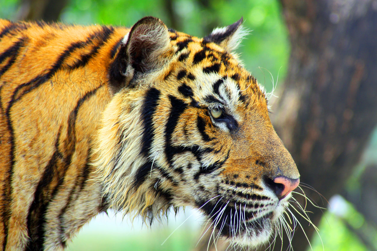 Beautiful stock photos of tiger, Alertness, Animal Markings, Animal Themes, Animals In The Wild