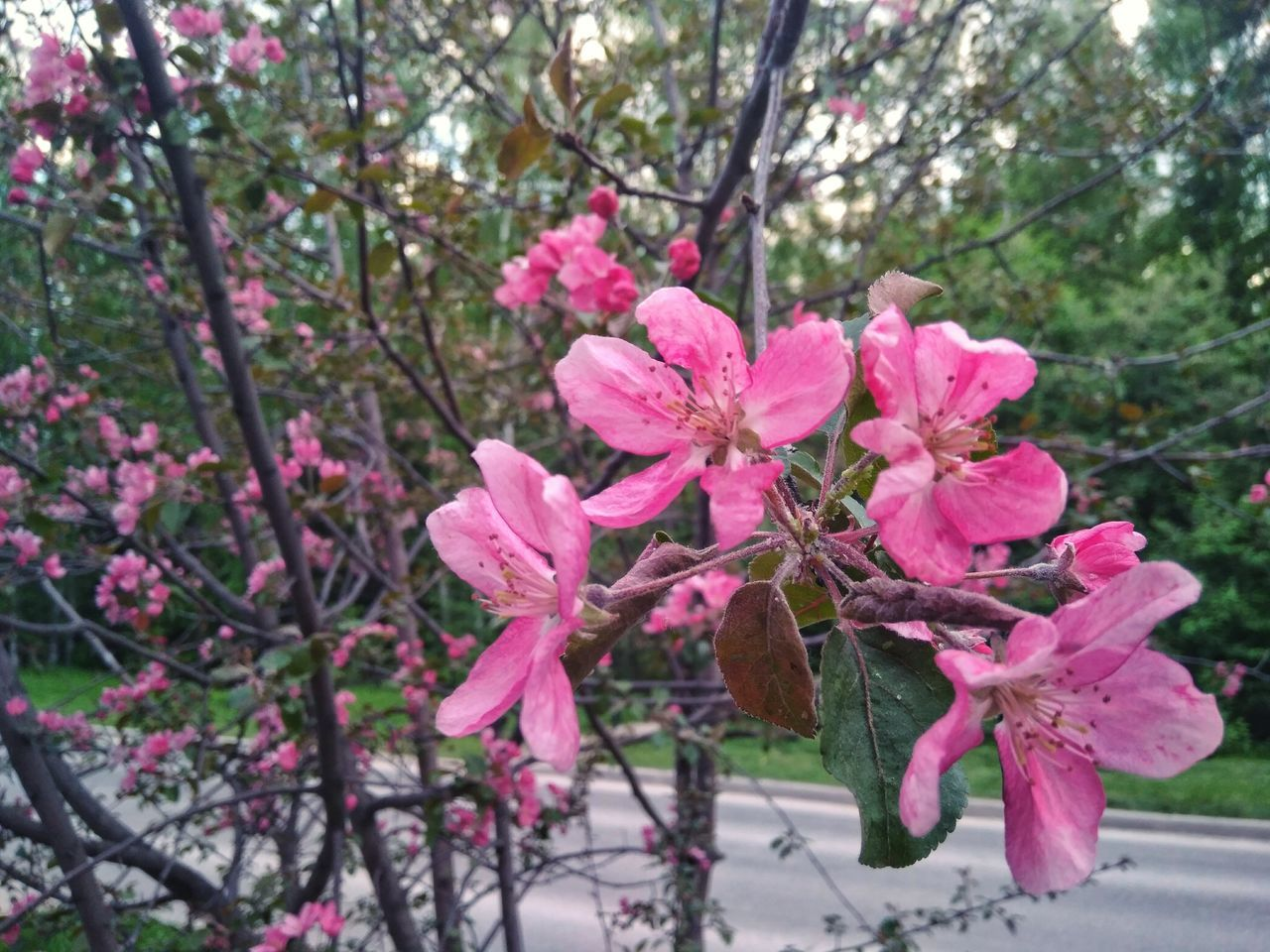 Pink Color Flower Tree Growth Nature Springtime Outdoors Flower Head Close-up Freshness Beauty In Nature Fragility Branch Plant Simplicity Apple Blossom Blooming Flowerporn Flourishing Tenderness No People Apple Tree Idyllic Wanderlust Tranquility