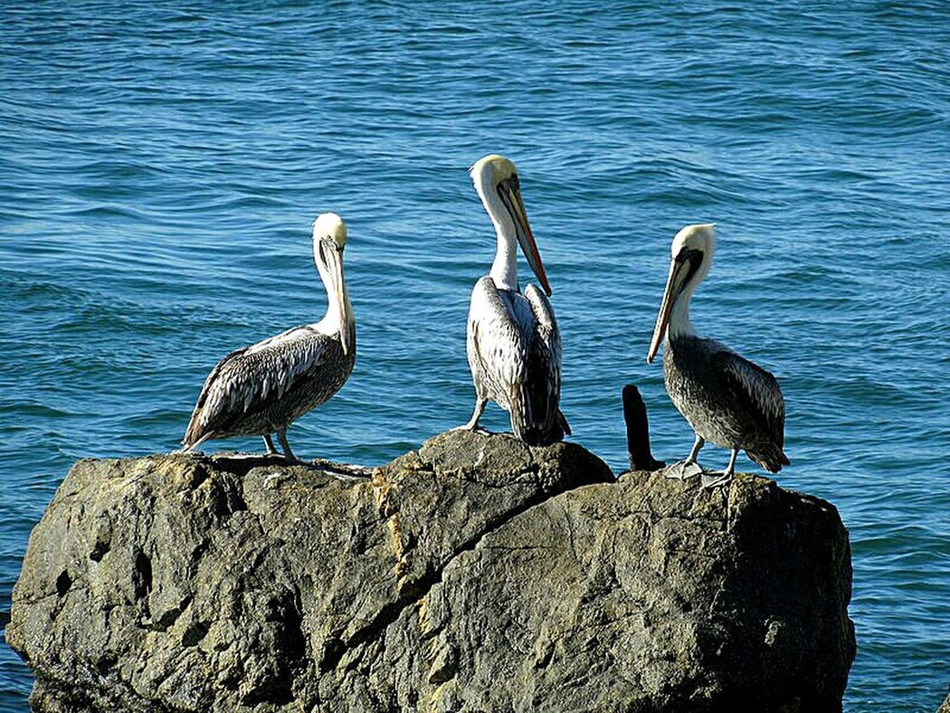 Three friends Animals In The Wild Bird Sea Tranquility Cost Chile