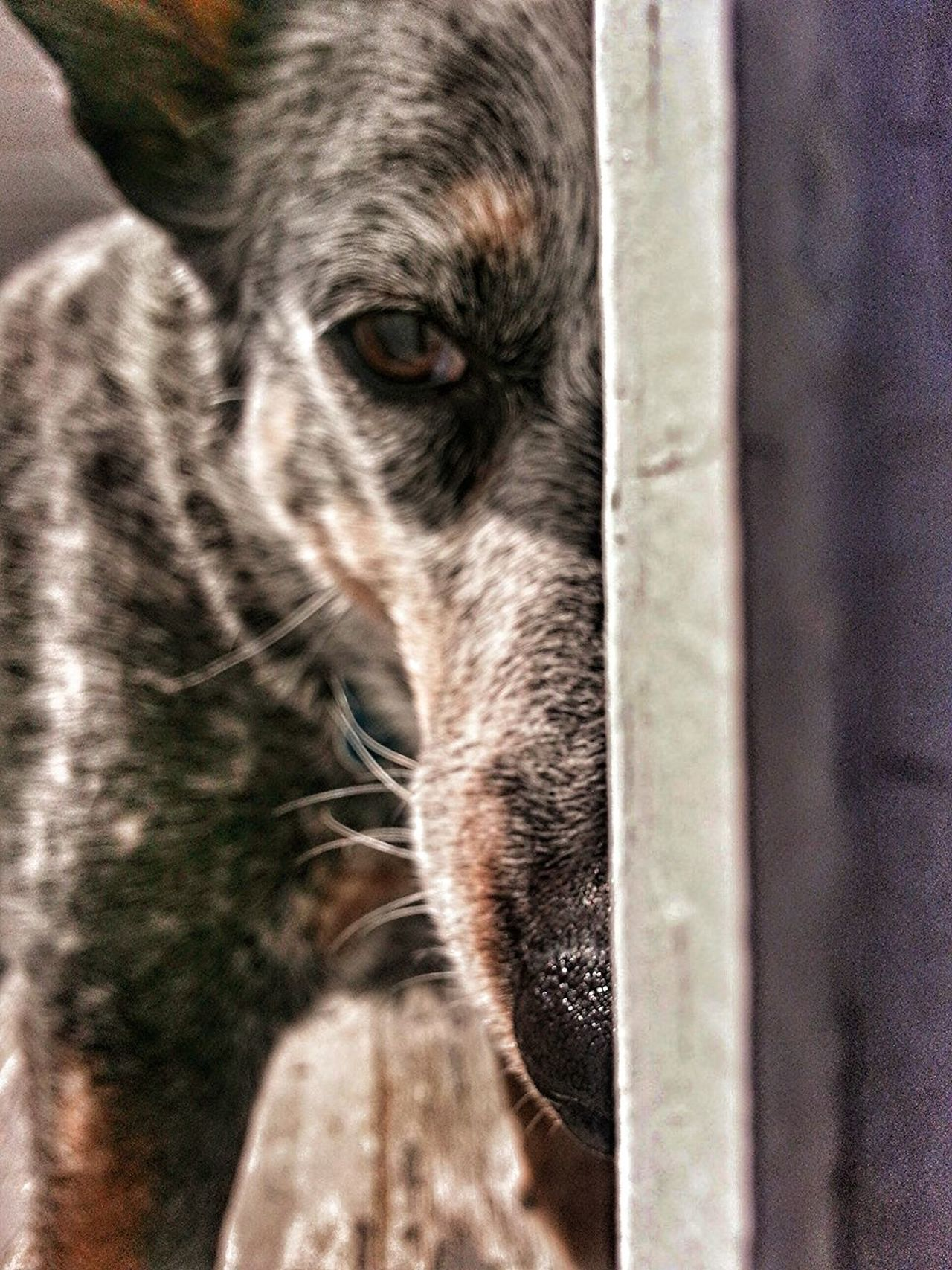 One Animal Pets Domestic Animals Close-up Dog Portrait Mammal Blue Heeler Australian Cattle Dog Emotional Hide And Seek Peekaboo