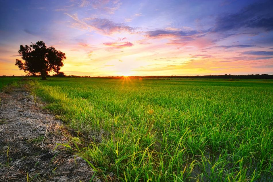 Beautiful sunset view at paddy field Sunset Paddy Field Tree Landscape Nature Green Color Beauty In Nature Scenics Beauty Sky Agriculture Idyllic Rural Scene Outdoors Freshness No People EyeEmBestPics Getty Images Getty X EyeEm EyeEm Gallery Background Thailand Malaysia Travel
