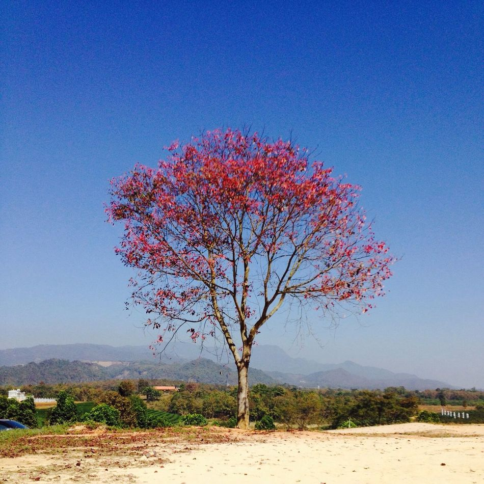 The Red Tree among green field, love the contrast of Red Leaves and Blue Sky