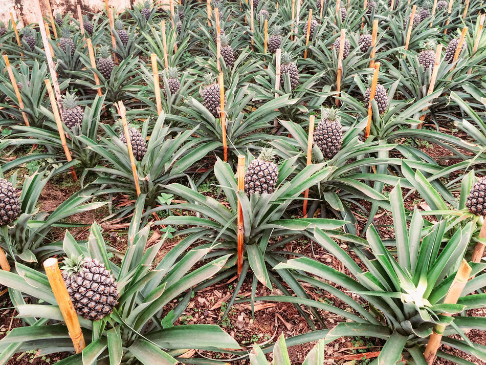 Beauty In Nature Close-up Day Flower Head Freshness Full Frame Green Color Growth Leaf Nature No People Outdoors Pineapple Plant