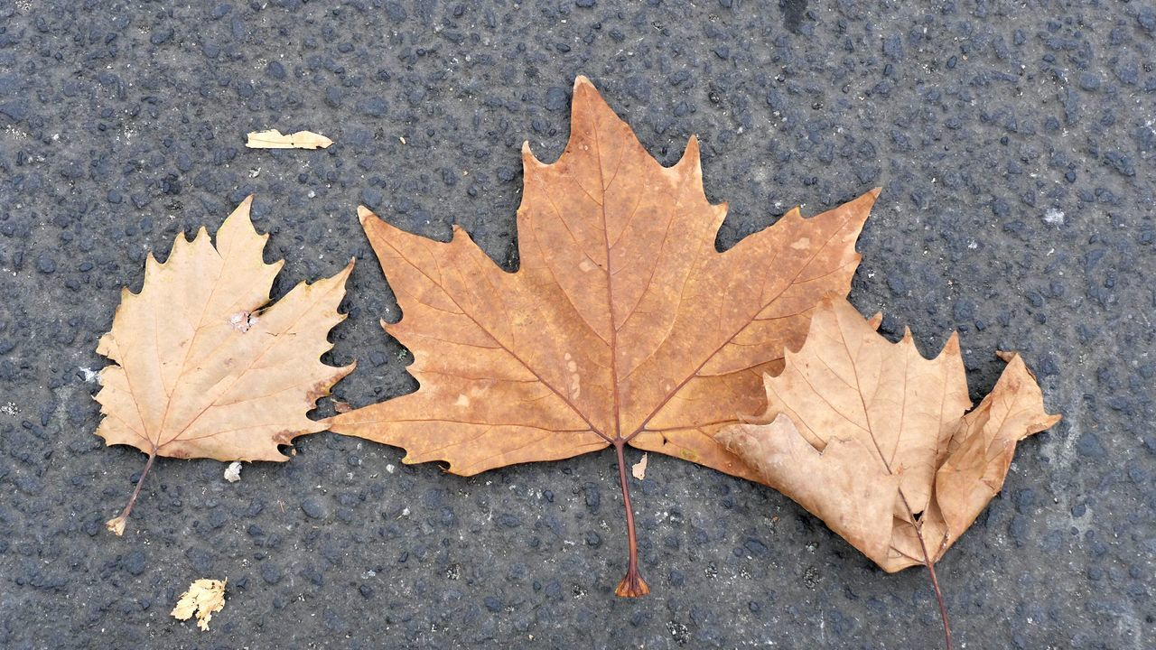 Autuum Leaves Autumn Leaf Maple Leaf Day Outdoors No People Close-up Nature