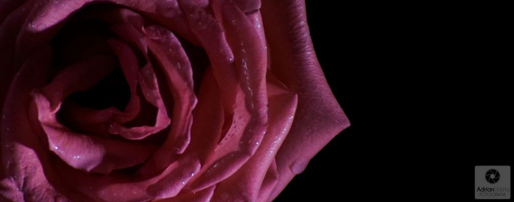 Flower Petal Nature Backgrounds Beauty In Nature Flower Head Nature Beautiful Photography Nature Photography Adrianureña Fragility Purple Close-up Rose - Flower Pink Color Black Background No People Art Plant Beauty In Nature Costa Rica EyeEmNewHere