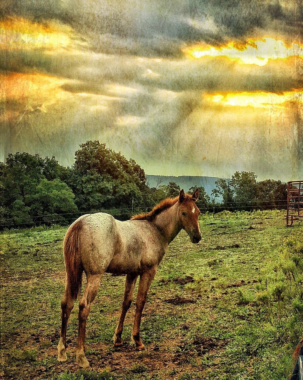 horse, animal themes, domestic animals, sky, field, mammal, nature, tree, cloud - sky, one animal, no people, outdoors, landscape, beauty in nature, livestock, standing, grass, day