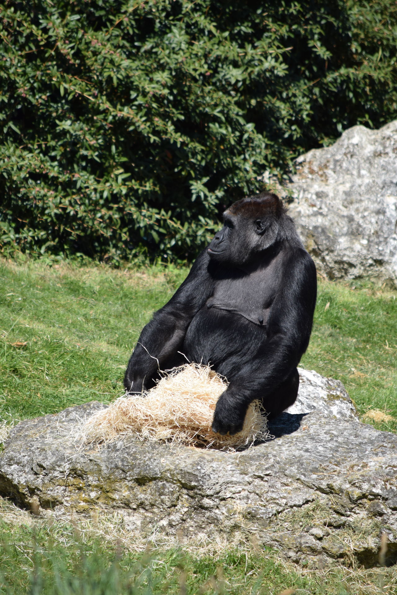 gorilla Animal Themes Animal Wildlife Animals In The Wild Beauval Day Female Full Length Gorilla Gorille Grass Green Male Mammal Monkey Nature No People One Animal Outdoors Power Primate Rock - Object Sitting Strong Zoo