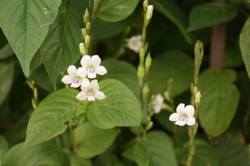 White Purple Flower Flower Fragility Nature Beauty In Nature Freshness Green Color Blooming Canon😉 Phuket Thailand🇹🇭
