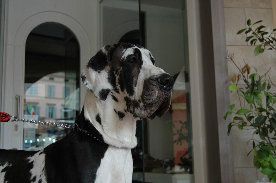 Beautiful stock photos of great dane,  Animal Body Part,  Animal Head,  Animal Markings,  Animal Themes