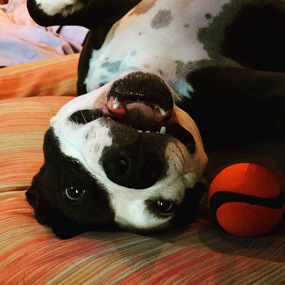 Beautiful stock photos of pitbull, Animal Themes, Bed, Close-Up, Dog