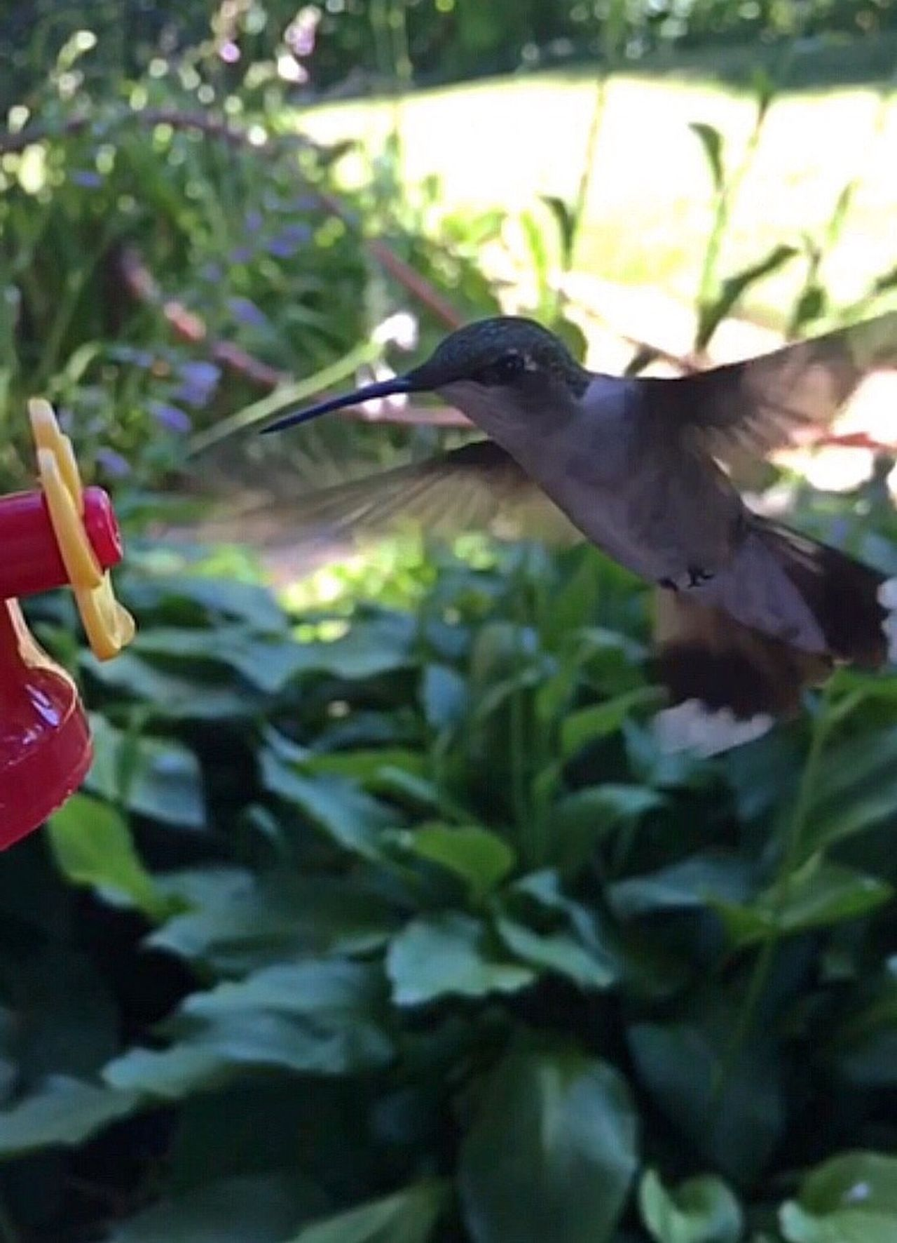 Screenshot of a video taken in August 2016. Hand feeding a beautiful ruby throated hummingbird... I really hope the people who bought my house, plan on feeding these birds, generations have come back where the food is, and I have been feeding them for at least five years 🌸🌸 Bird Animal Themes Animals In The Wild Flying One Animal Day No People Tree Nature Outdoors Close-up Hummingbird Birdwatching Birdfeeding Nature Photography Videoclip Nature_collection 🙋🏻✨ Good night 💕