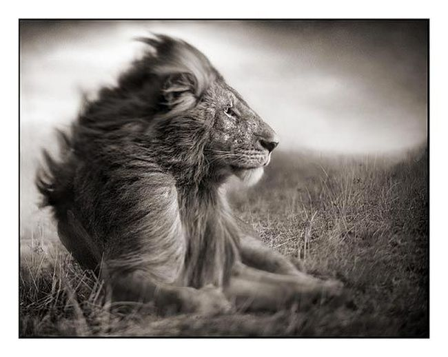 Nick Brandt 2. This is the other print we bought. He is an amazing photographer. Nick Brandt Animals EyeEm Best Shots EyeEm Best Shots - Black + White Eye4photography  Not My Pic