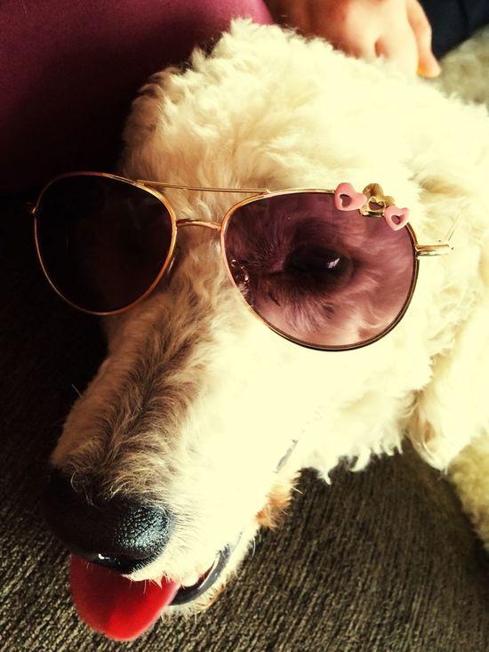 Poodle Waiting For Summer Dogs I Love My Dog Sunglasses Mediumpoodle Whitepoodle Hello World