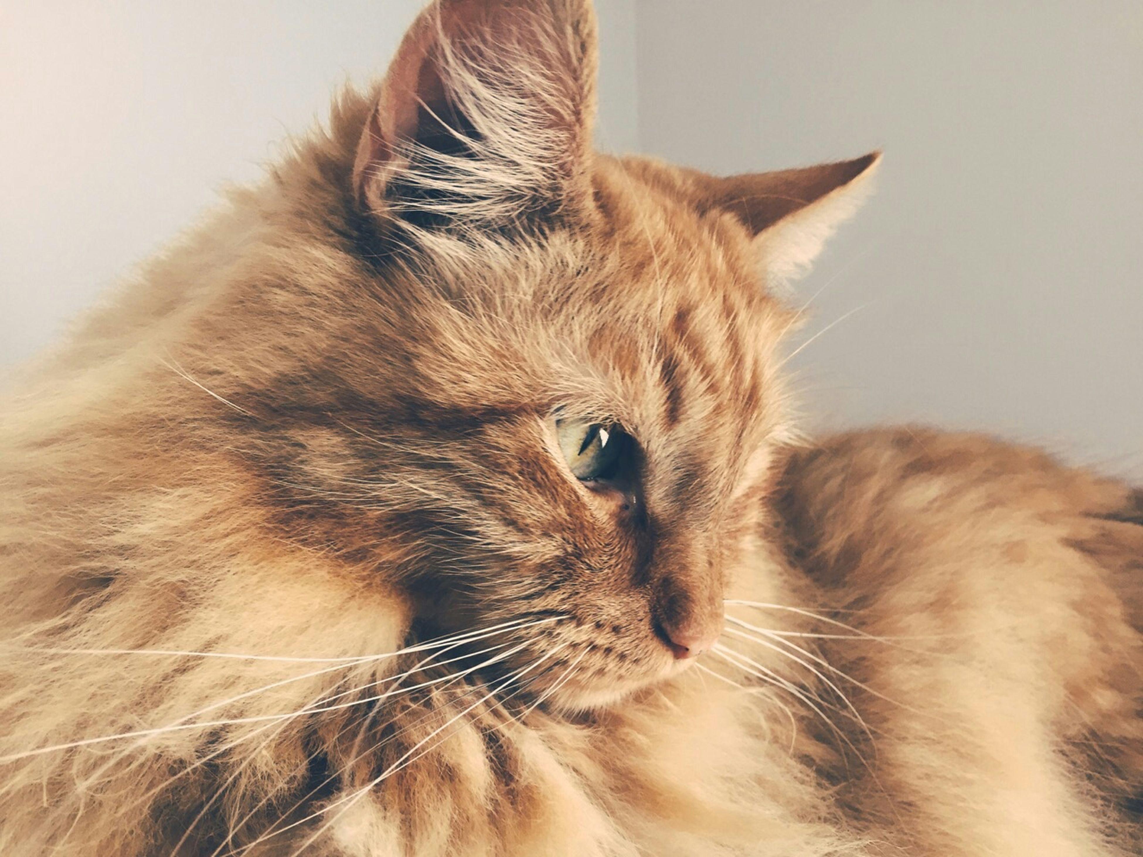 domestic cat, one animal, cat, animal themes, domestic animals, pets, feline, mammal, indoors, whisker, animal head, close-up, looking away, relaxation, animal body part, studio shot, animal hair, alertness, animal eye, portrait