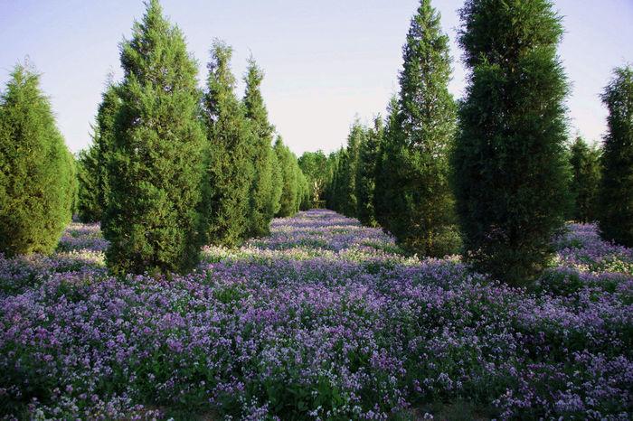 Season  Nature No People Temple Of Heaven Beijing Pekin Temple Du Ciel 天坛 花 花海 Flowers
