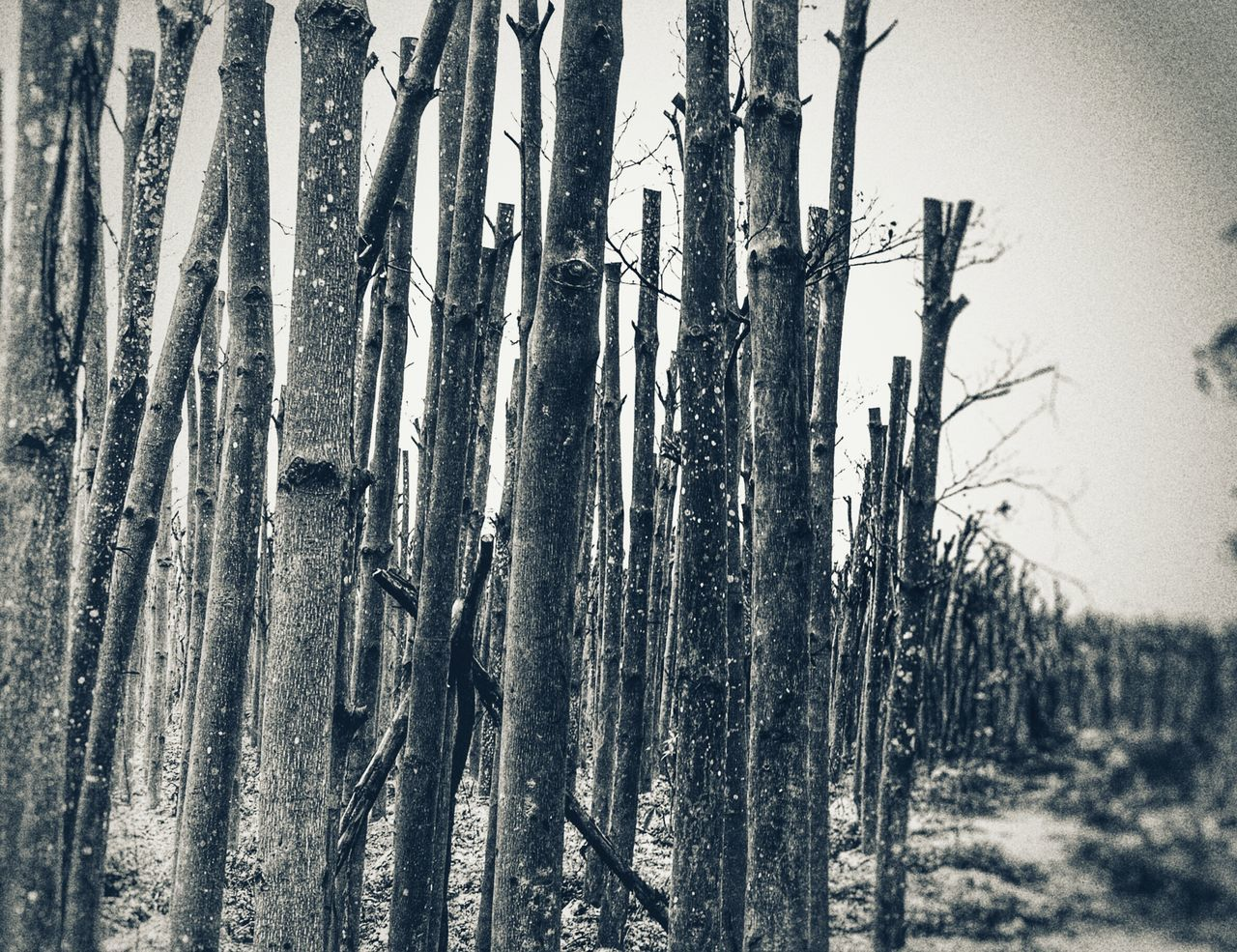 tree trunk, tree, nature, day, forest, outdoors, no people, growth, tranquility, beauty in nature, landscape, bamboo - plant, close-up, sky